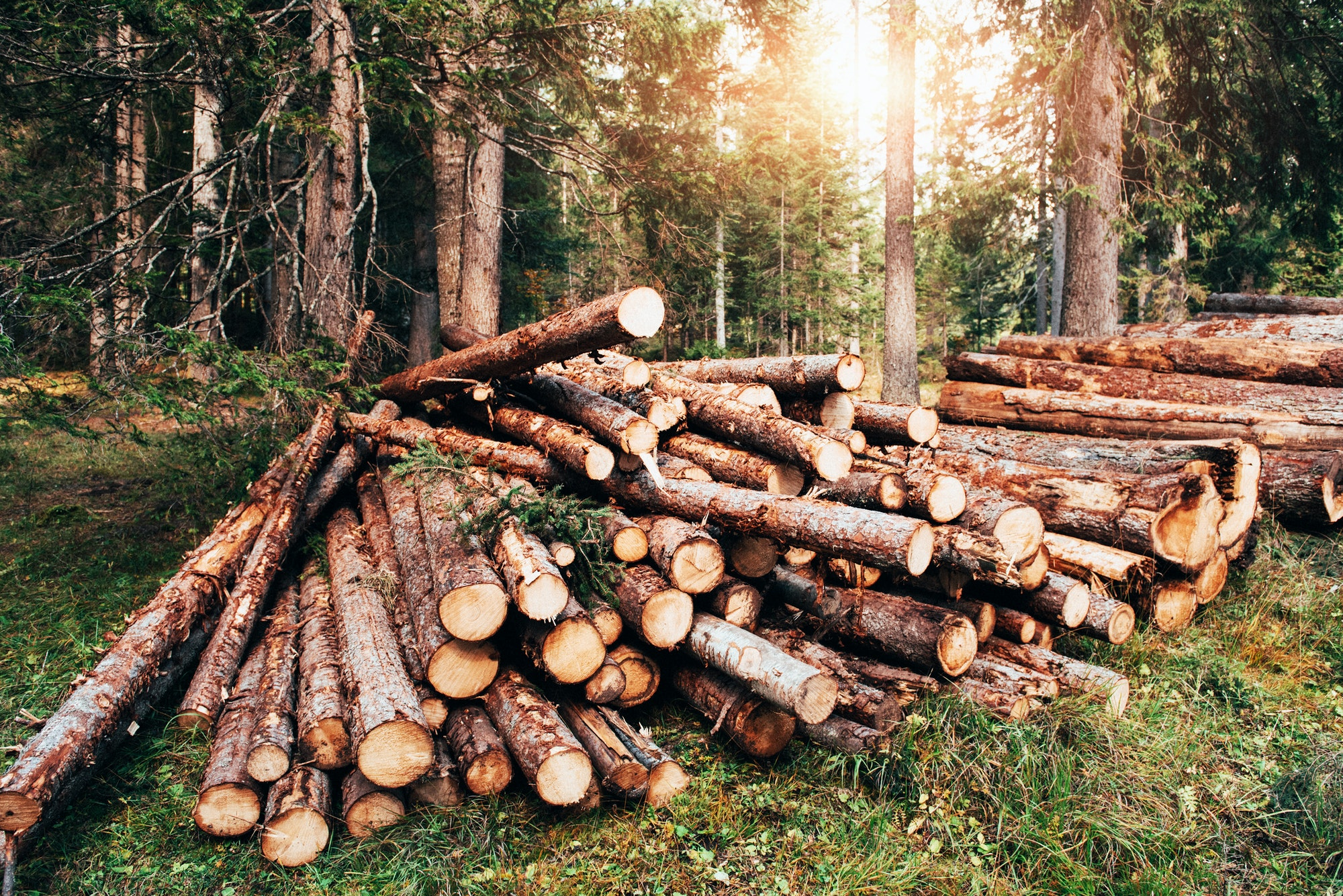 Sunlight through the trees. Freshly harvested wooden logs stacked in a pile in the green forest